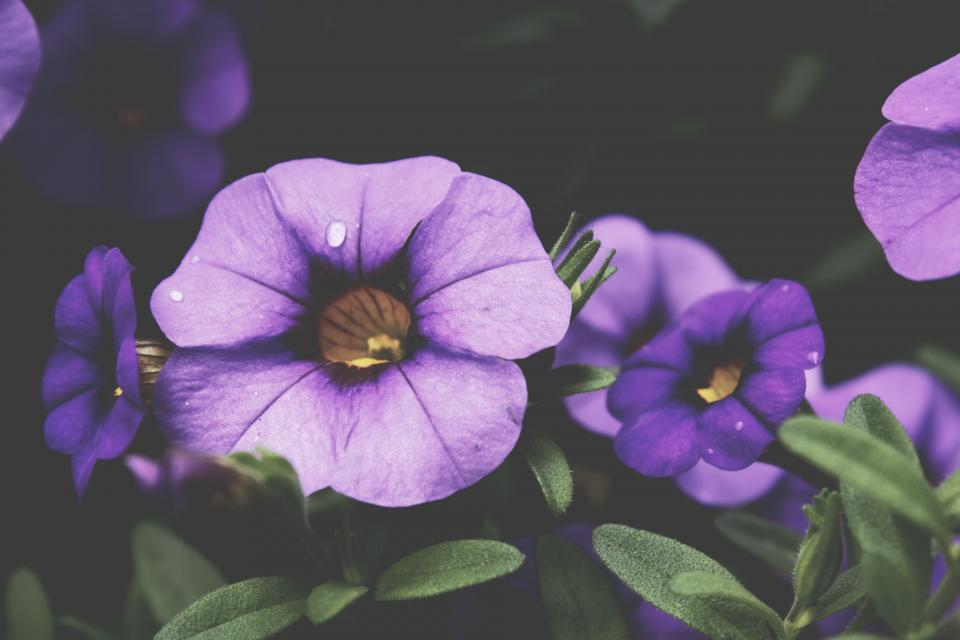 purple, flowers