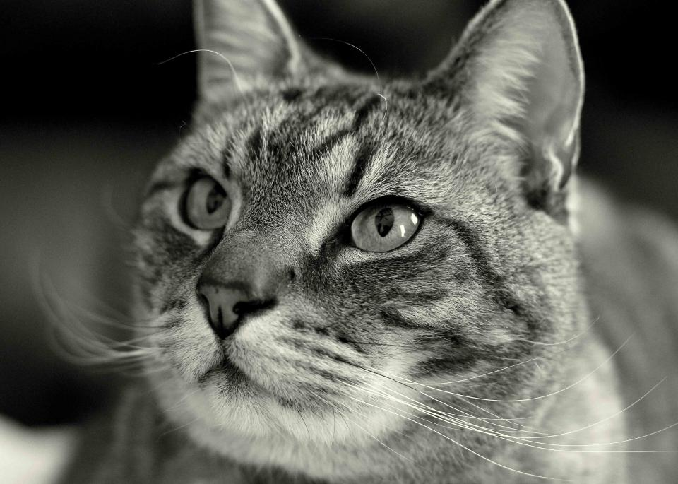 cat, whiskers, animals, pet, black and white, eyes, face