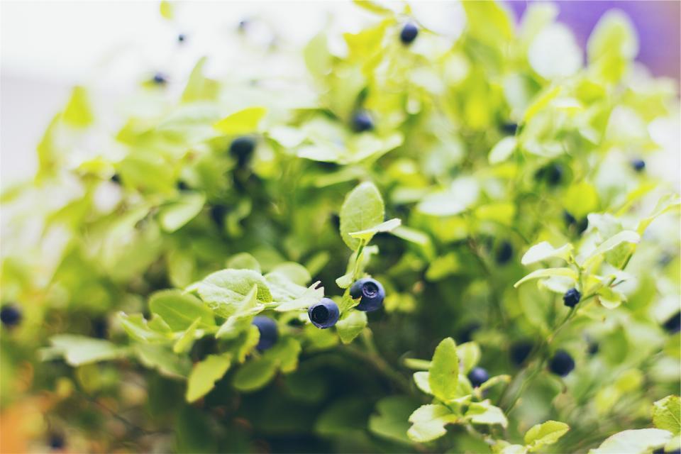 blueberries, fruits, plants