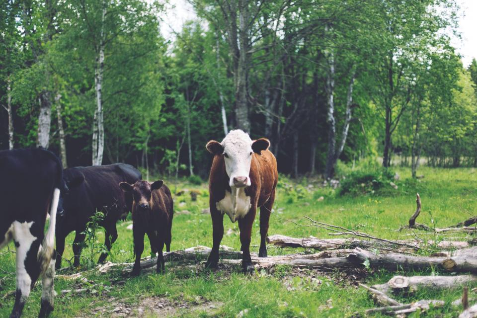 cows, animals, farm, grass, trees, nature