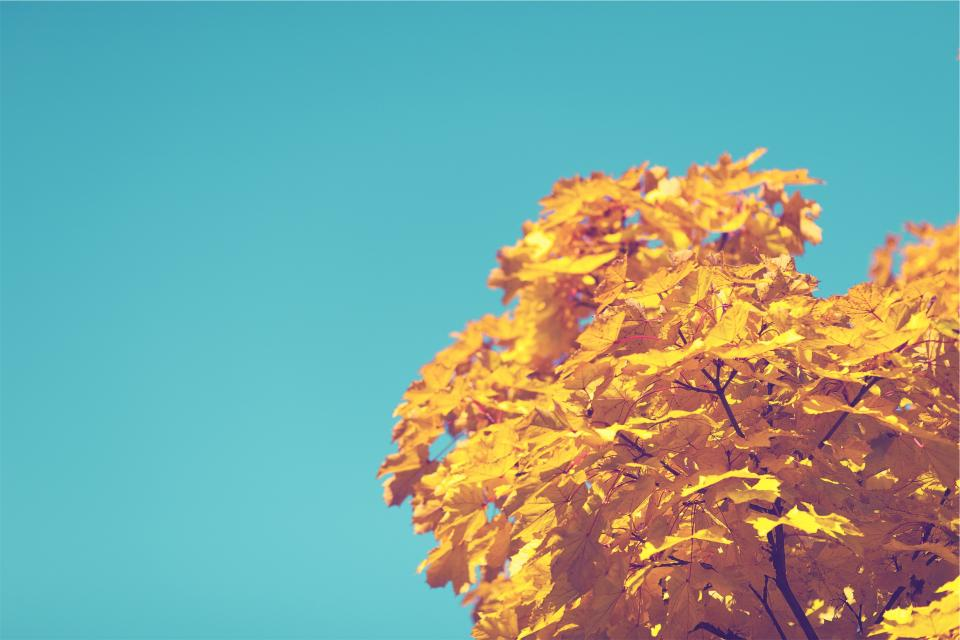 blue, sky, tree, autumn, yellow, leaves