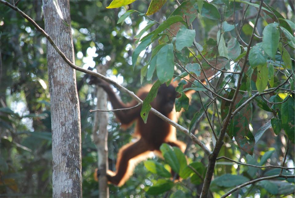 orangutan, animal, jungle, trees, leaves