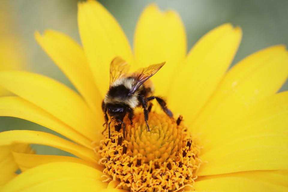 yellow, bumble bee, wasp, pollen, flower