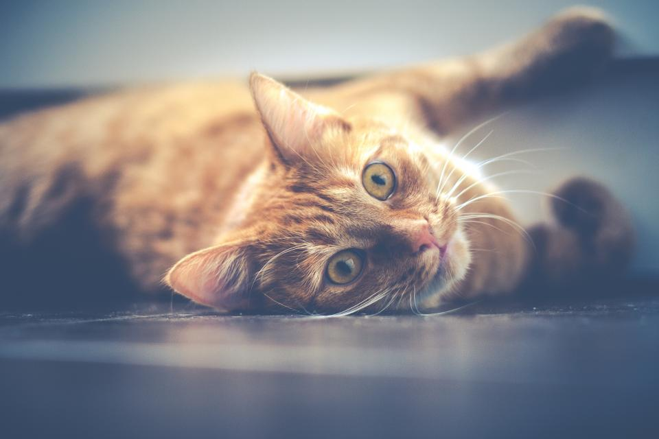 cat, pet, animals, eyes, whiskers