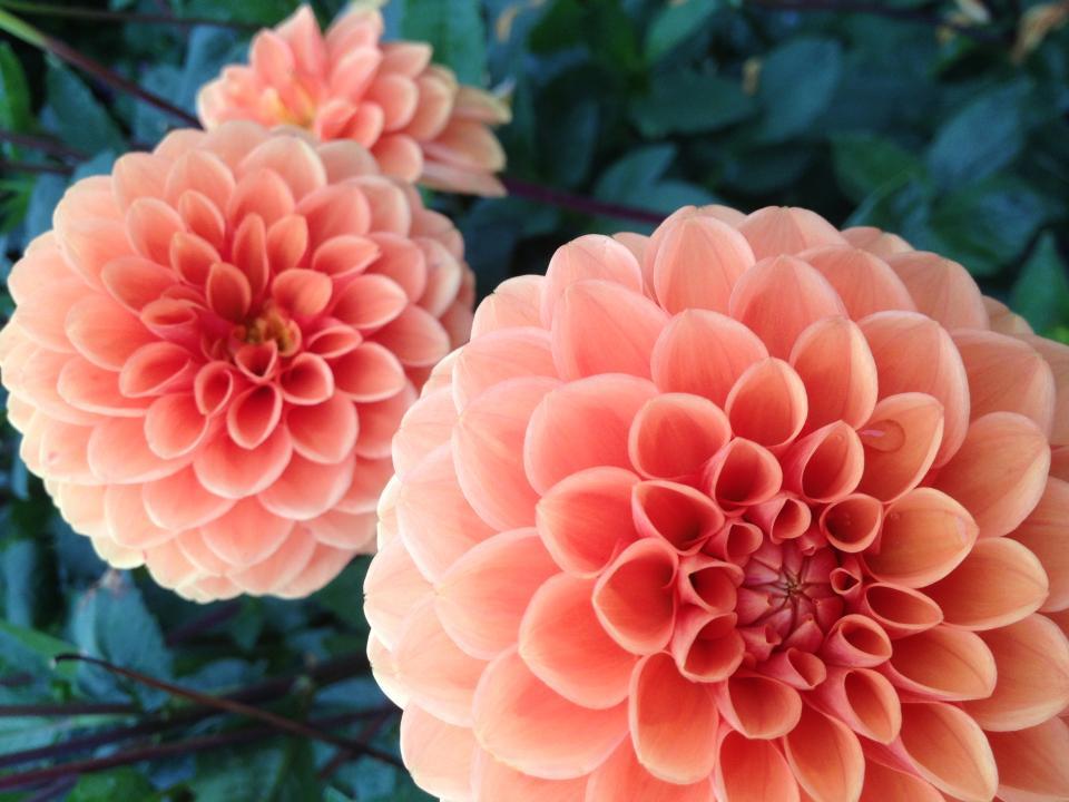 flowers, peach