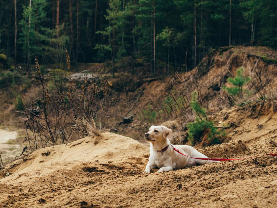 dog, pet, leash, animals, forest, woods, outdoors, dirt, nature