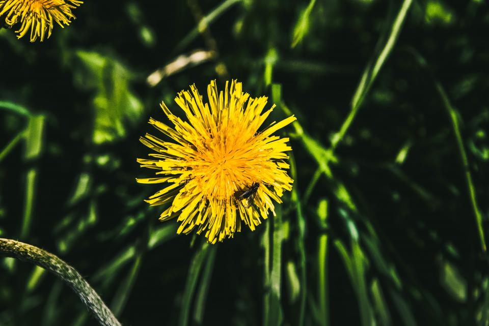 yellow, dandelion, flowers, grass, nature