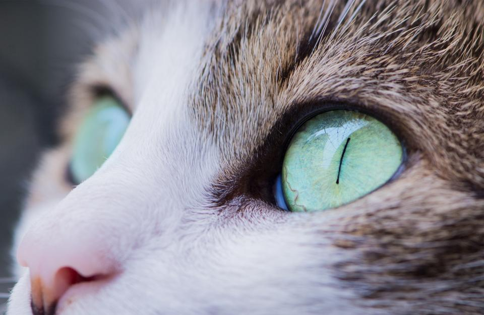 animals, cats, domesticated, pets, whiskers, gray, white, green, beautiful, eyes, bokeh
