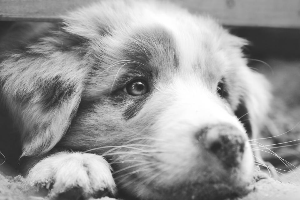 dog, Australian Shepherd, aussie, puppy, closeup, makro, eyes, fur