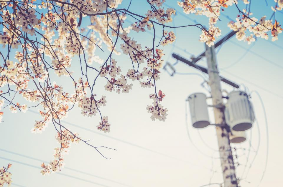 white, blossoms, trees, flowers, leaves, branches, power lines, sunshine, summer, outdoors