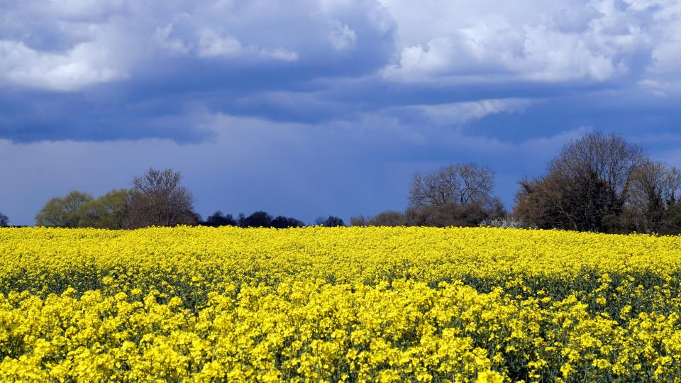 flowers, nature, blossoms, field, bed, yellow, stems, petals, leaves, trees, sky, clouds, outdoors