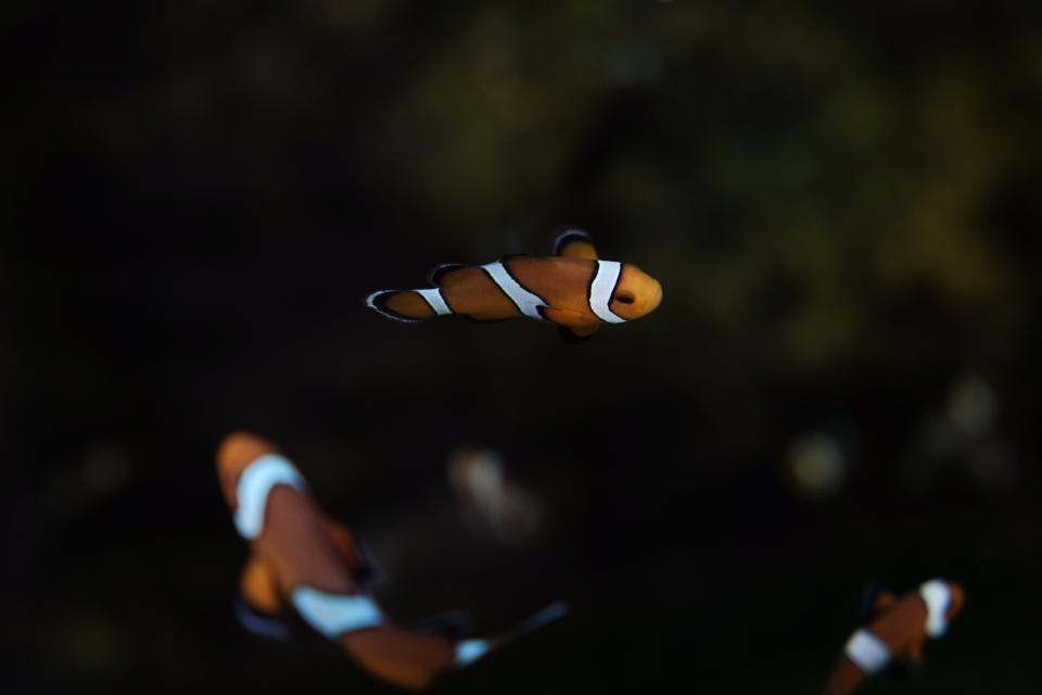 animals, fish, marine, life, clown, school, underwater, still, bokeh, orange, white, stripes