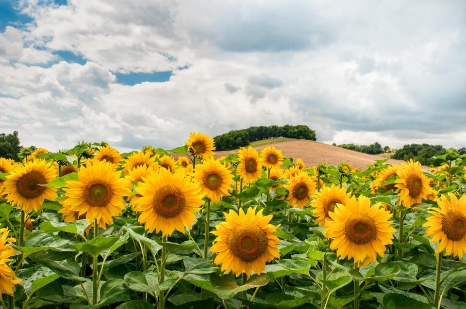 sunflowers, flowers, garden, nature, sky, clouds, field