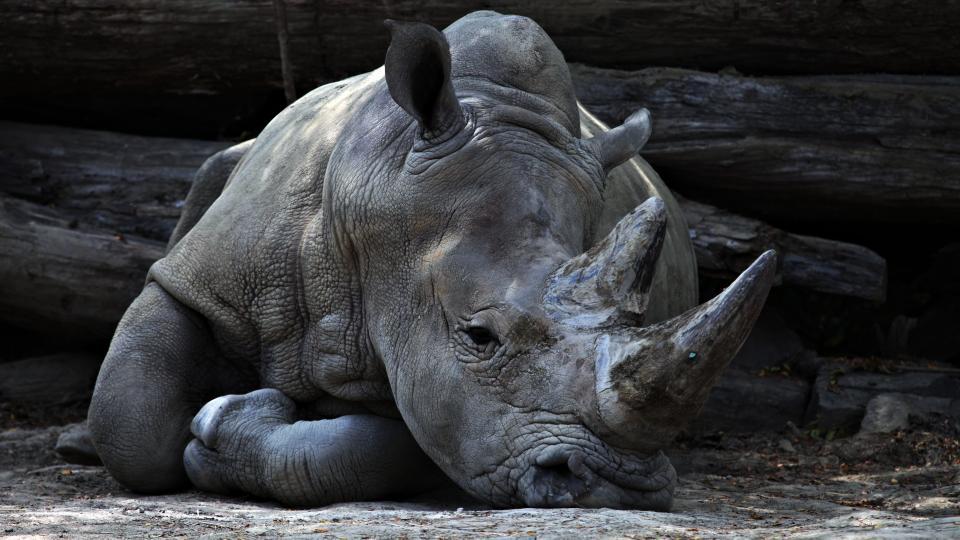 animals, mammals, rhinoceros, rhino, rest, lie, lay, horns, ground, dirt, soil, trunk, still, bokeh, gray