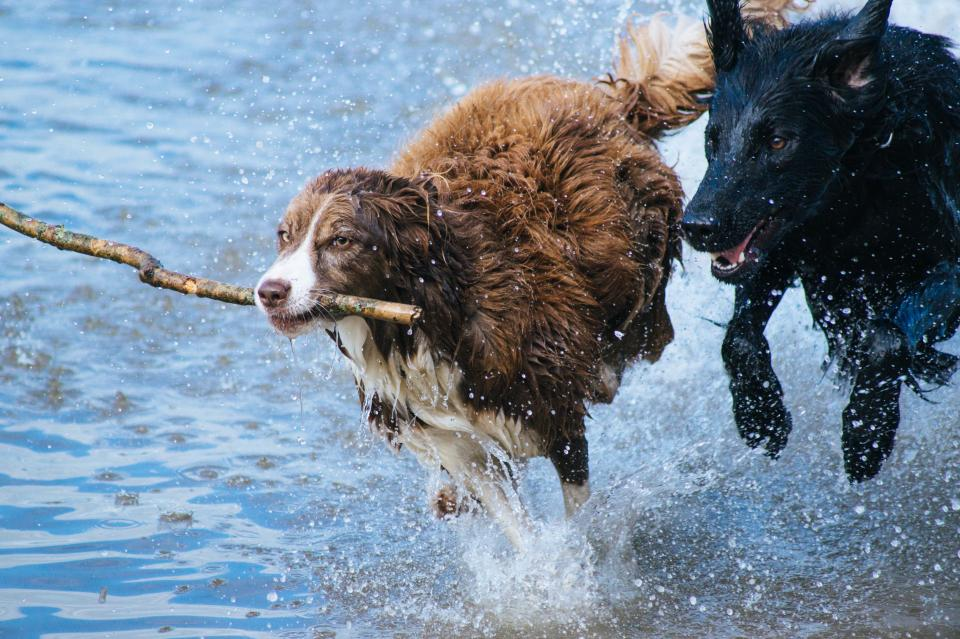 animals, dogs, running, play, fetch, race, adorable, nature, water, shore, splash, ripples, twig, branch