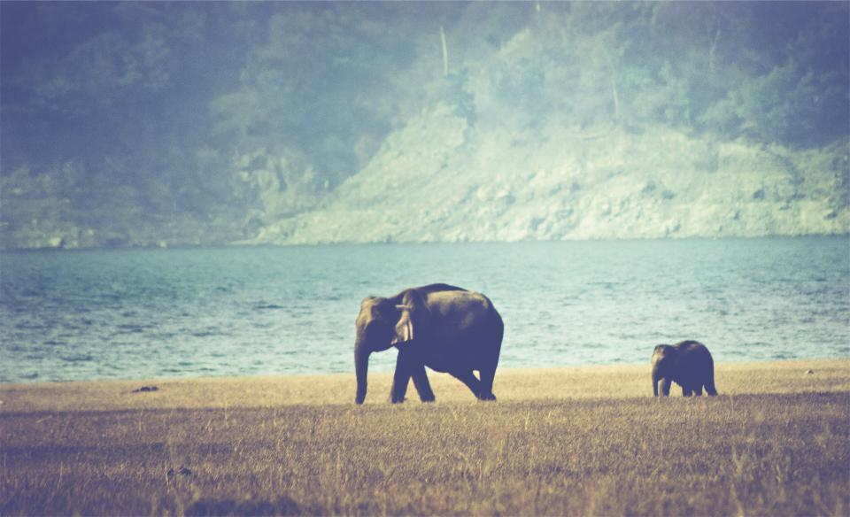 elephants, animals, grass, field, lake, water