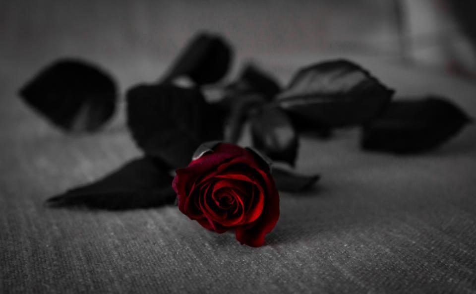 red, rose, flower, beauty, black, dark
