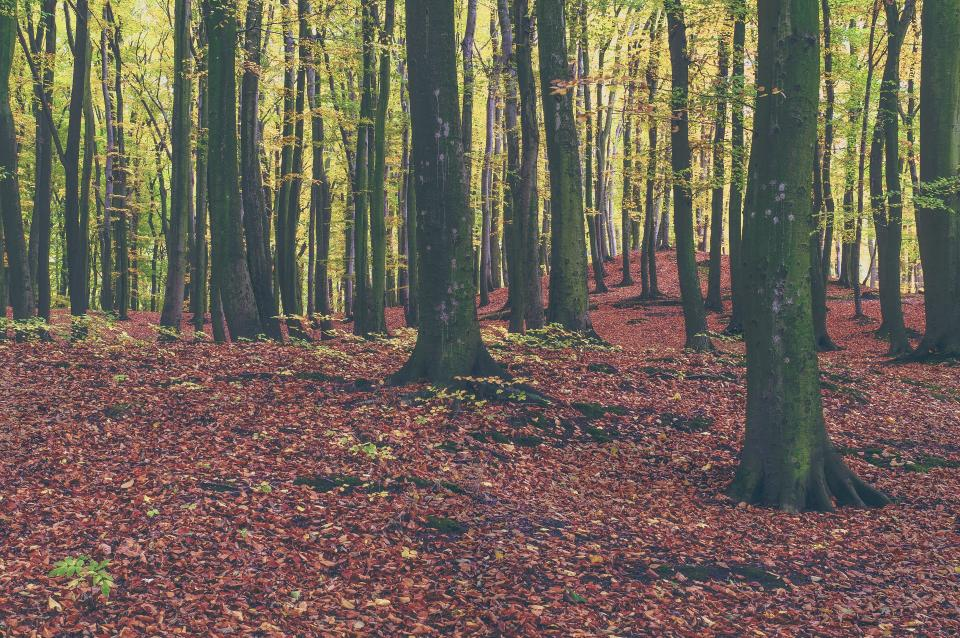 trees, forest, woods, nature, leaves, fall, autumn