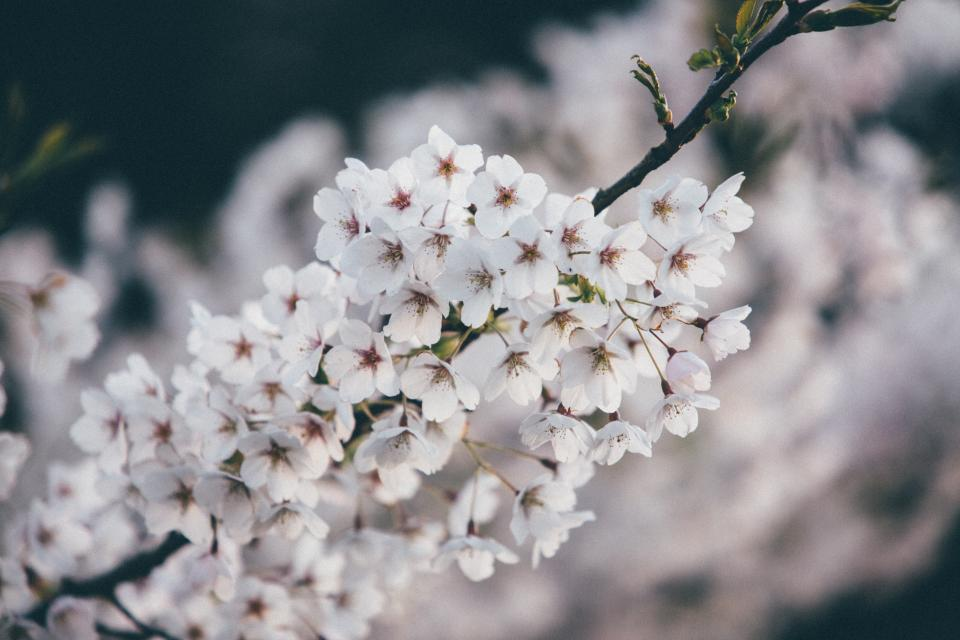 flowers, nature, cherry, blossoms, branches, white, petals, bokeh, outdoors