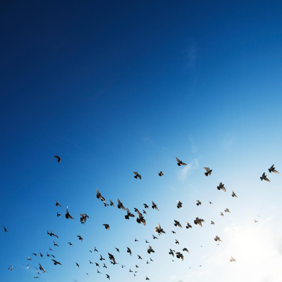 flock, birds, flying, animals, blue, sky