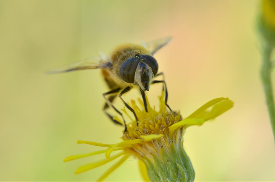 insects, bees, macro, flower, pollen, bokeh, yellow