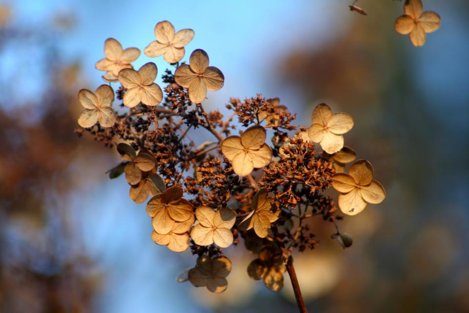 hydrangea, autumn, fall, flowers