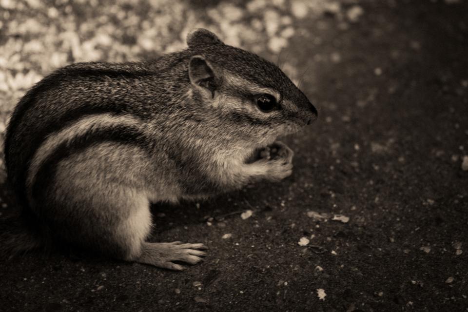 chipmunk, animals, black and white, nature