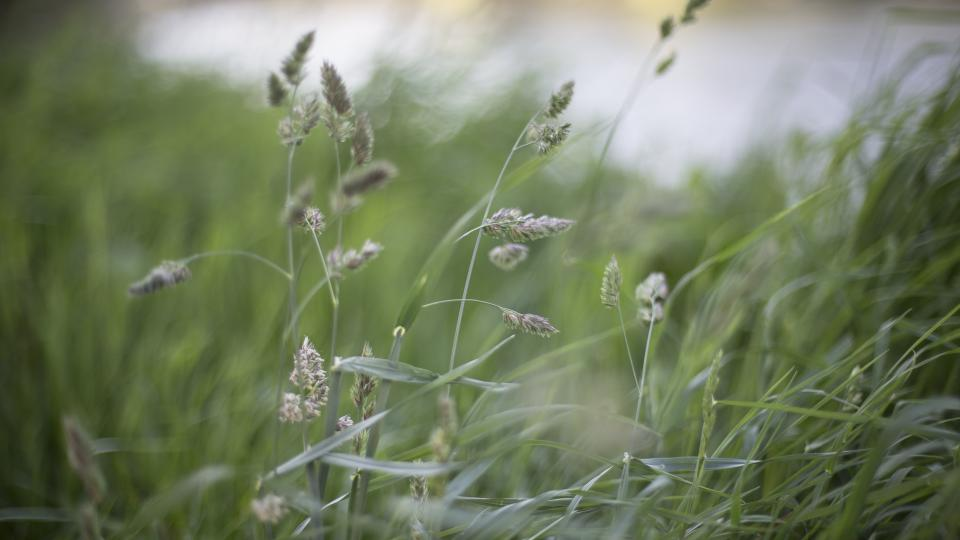nature, grass, buffalo, stems, stalks, sway, wind, bokeh