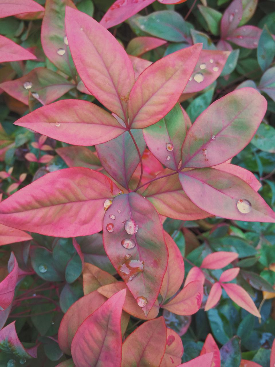 pink, flowers, garden, dew, nature