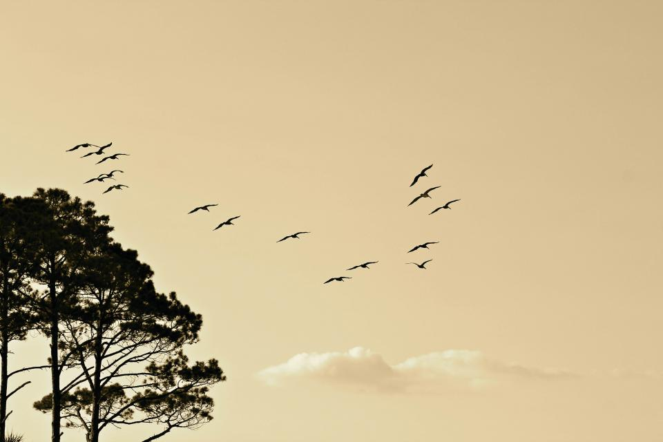birds, animals, flying, sky, sunset, clouds, trees, nature