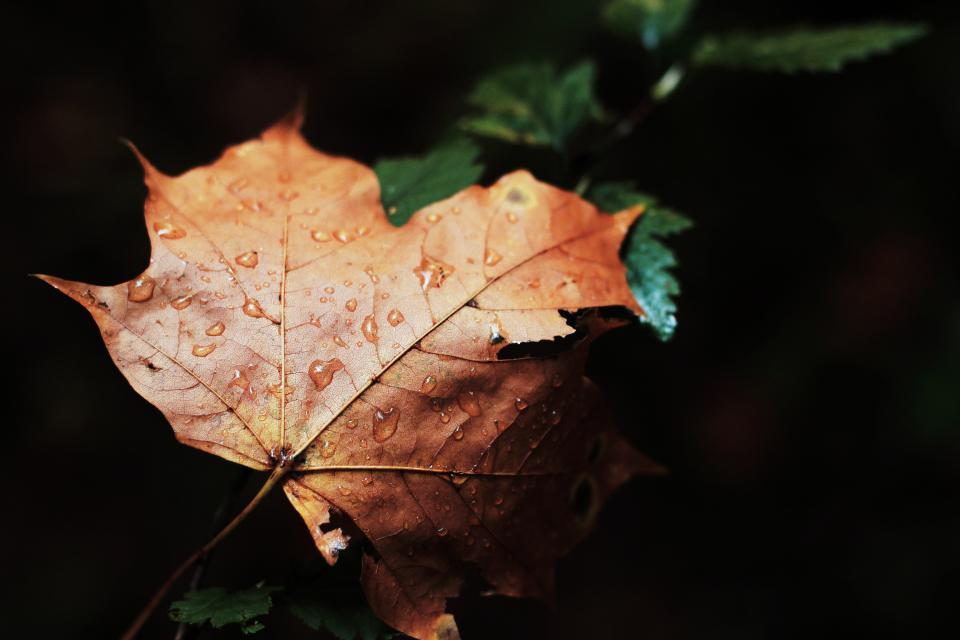 maple leaf, wet, rain, drops, nature, forest, dark