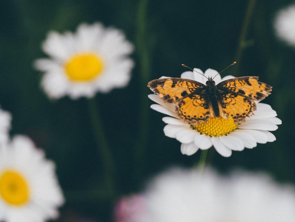 daisy, daisies, flowers, butterfly, nature, garden