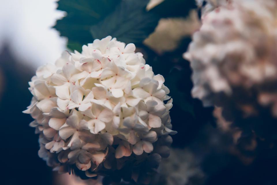 plants, flowers, nature, garden, white
