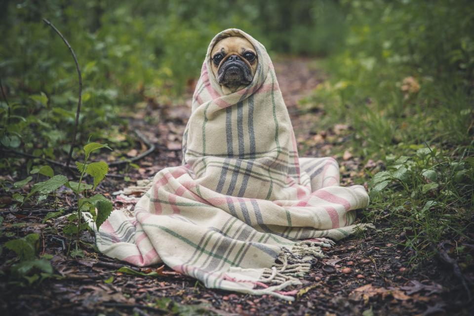 pug, dog, pet, animals, blanket, cute, nature