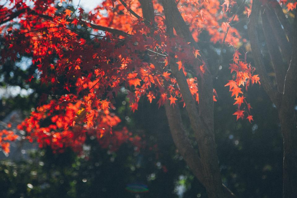 trees, branches, red, leaves, fall, autumn, nature