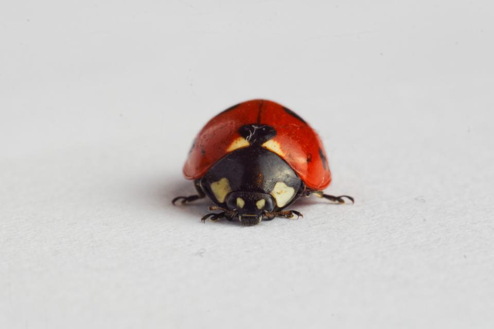 ladybug, ladybird, insect, animals