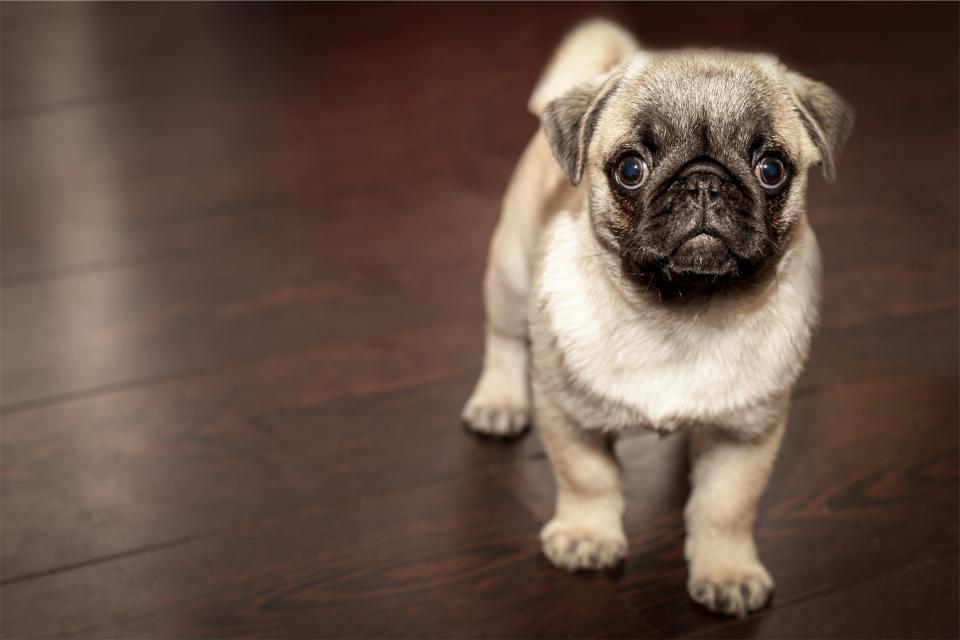 pug, puppy, dog, animal, cute