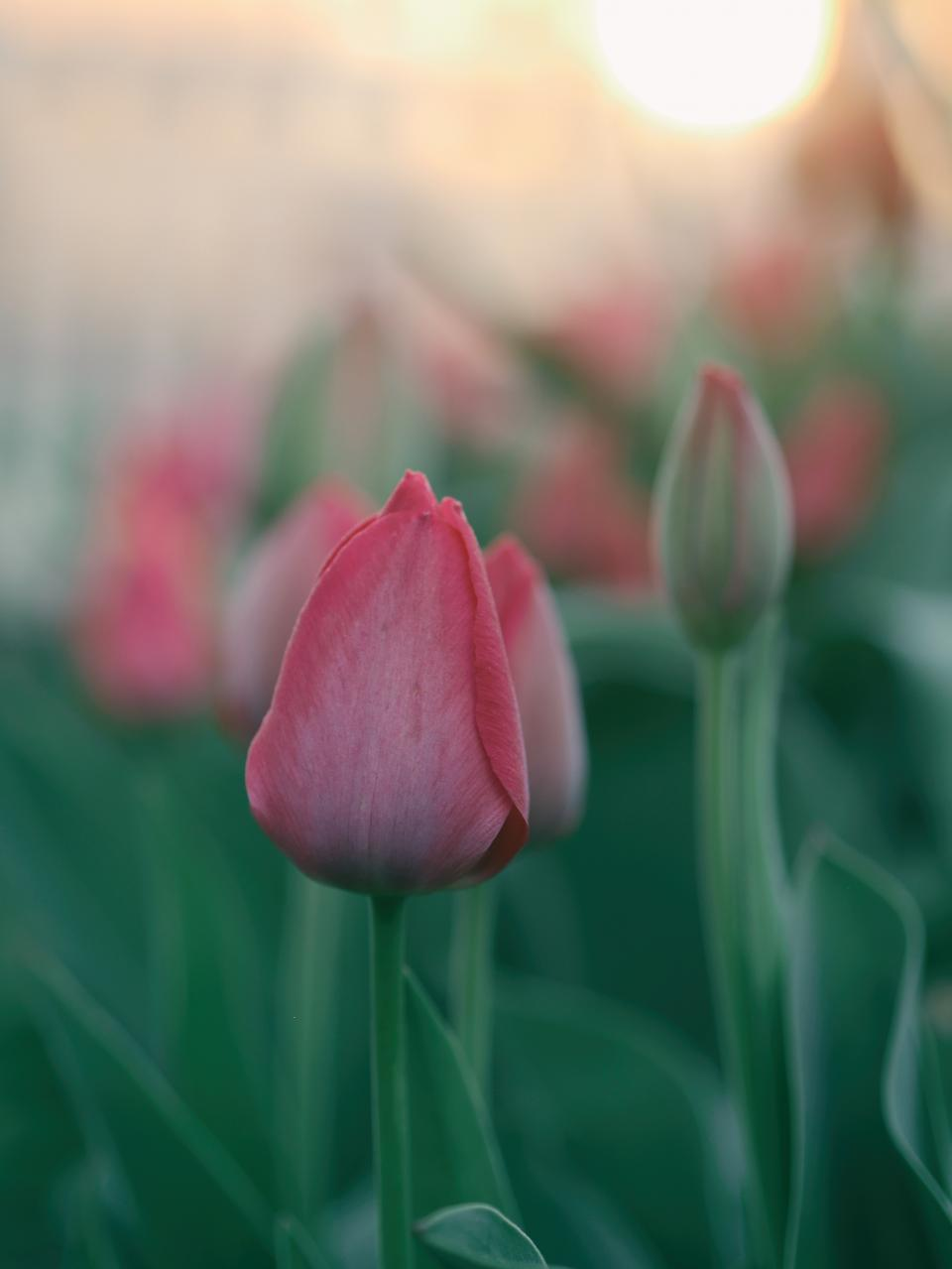 flowers, nature, blossoms, branches, bed, field, stems, stalk, pink, petals, leaves, bokeh, outdoors, garden, sky, sun, light