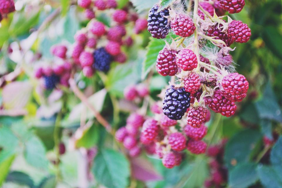 blackberries, berries, fruits, tree, leaves, nature, outdoors
