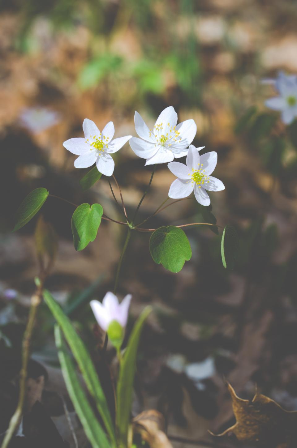 flowers, white, spring, wild flowers, nature