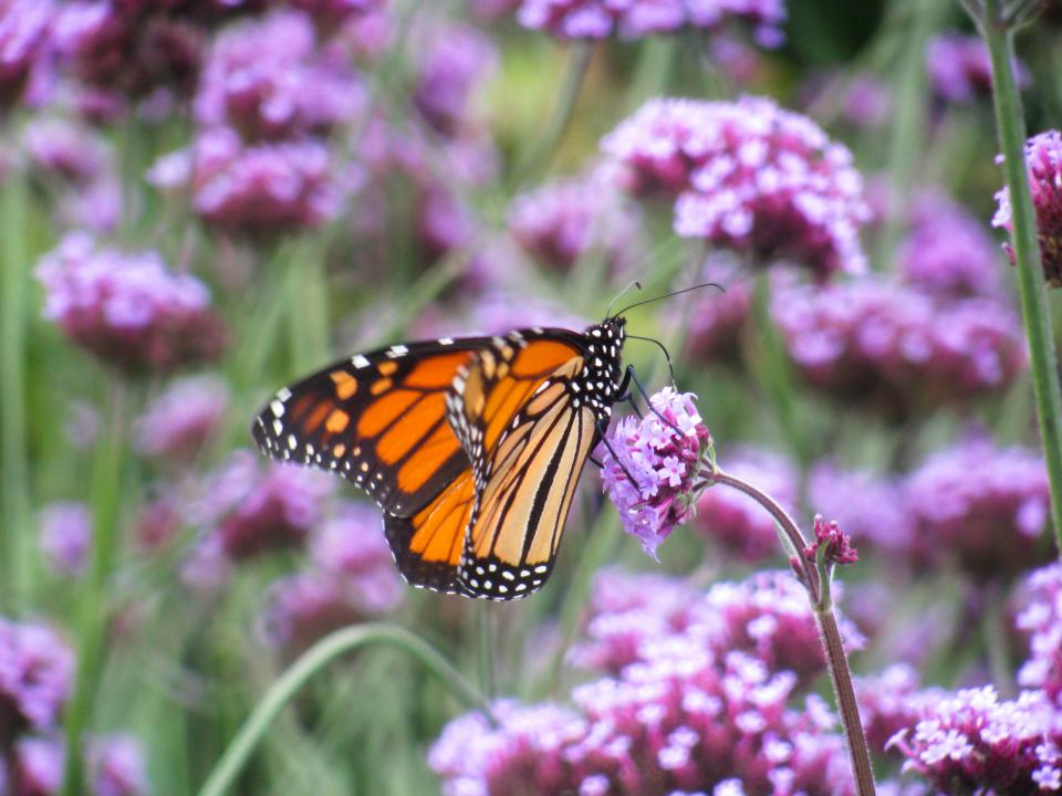 butterfly, purple, flowers, garden, nature