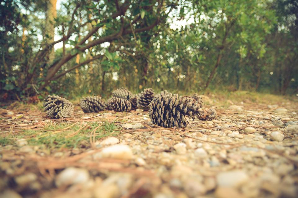 pine cones, forest, woods, park, nature, outdoors, trees, branches, rocks, pebbles, ground