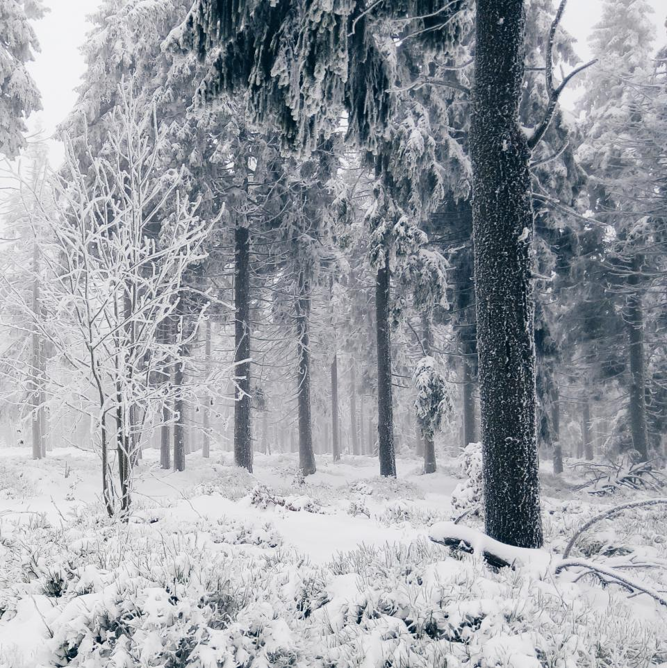 snow, winter, cold, trees, forest, woods, nature
