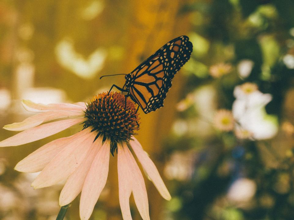 butterfly, insect, flowers, nature, garden