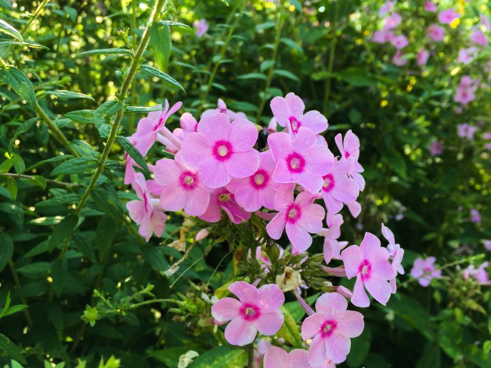 pink, flowers, garden, plants, green, nature