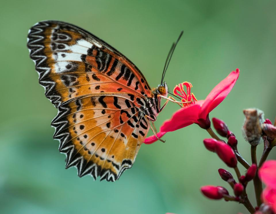 butterfly, nature, garden, colorful, insect, flower, pink, petal, pollen, grains