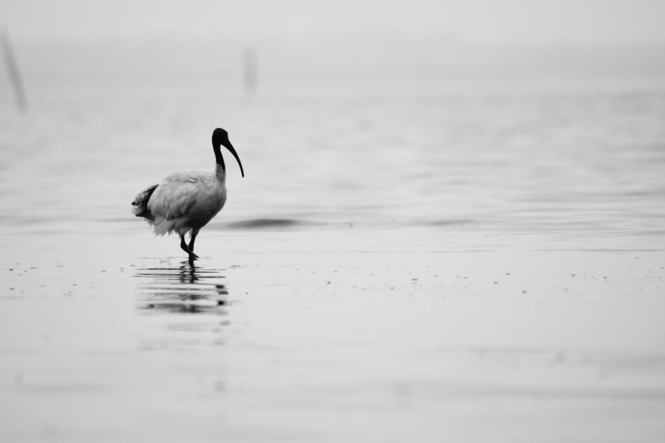 bird, animals, water, black and white