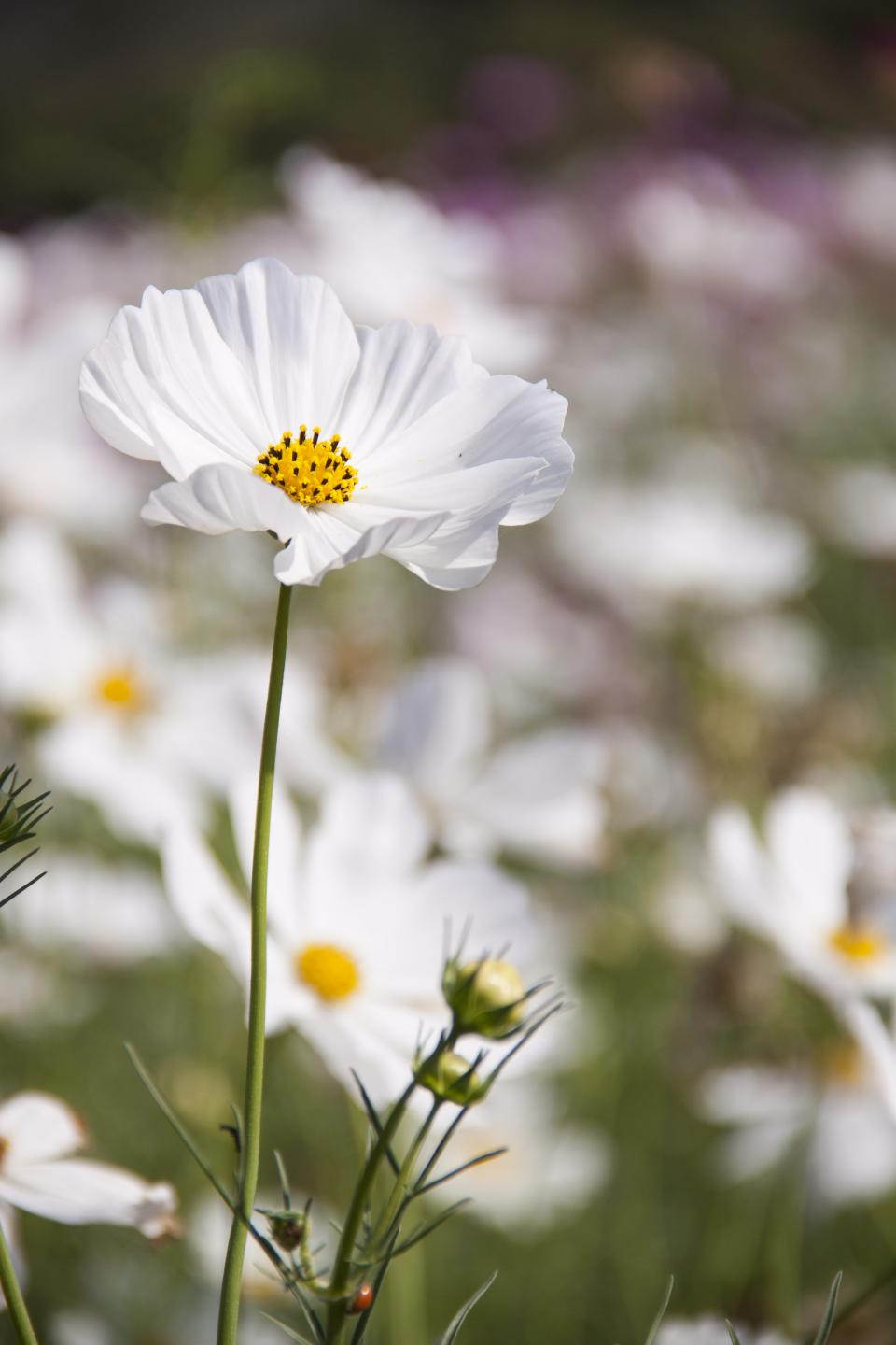 flowers, nature, blossoms, field, bed, white, stems, stalks, branches, petals, leaves, outdoors, still, bokeh