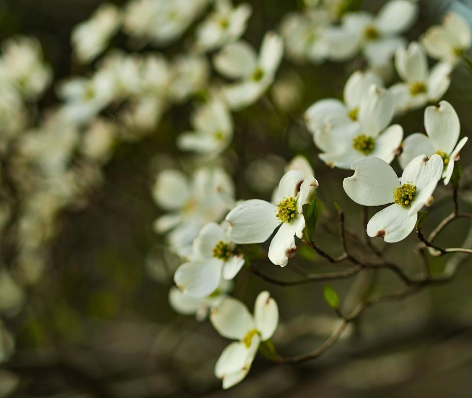 white, blossoms, flowers, garden, nature