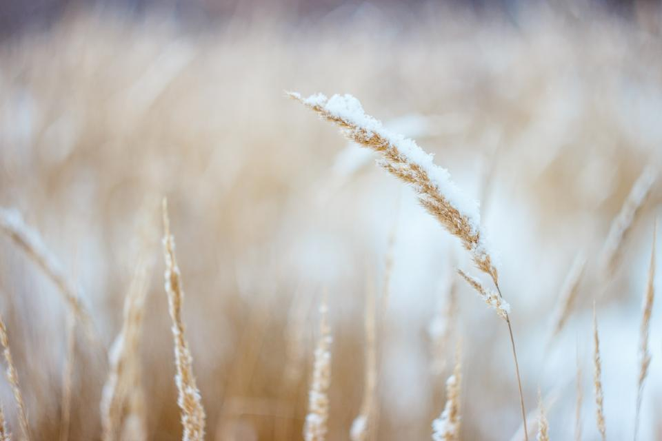 wheat, plants, field, nature, outdoors, snow, winter